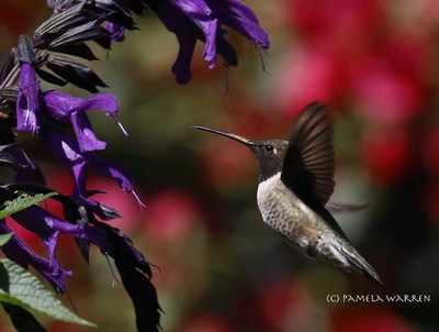 The Return of the Black-Chinned Hummingbird